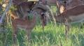 Impala Mum and Baby Grooming GFHD Footage