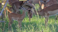 Stock Video Footage of Impala Mum and Baby Grooming GFHD