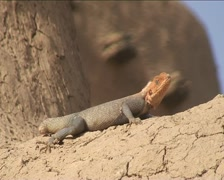 Lizard Stock Footage