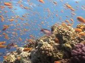 Stock Video Footage of Moving through Anthias at a coral reef.