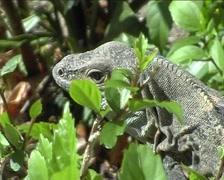 Komodo dragon in tree Stock Footage