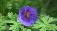 Stock Video Footage of Hybrid cultivar geranium (Geranium sp.) flower swaying in the wind in the spring