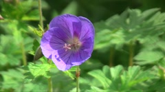 Hybrid cultivar geranium (Geranium sp.) flower swaying in the wind in the spring Stock Footage