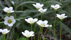 Hybrid cultivar saxifrage (Saxifraga x arendsii) flowers swaying in the wind in  Stock Footage