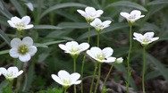 Stock Video Footage of Hybrid cultivar saxifrage (Saxifraga x arendsii) flowers swaying in the wind in