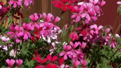 Flowers in front of Engadin housefronts Stock Footage