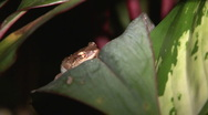 Stock Video Footage of Small Coqui Frog 2