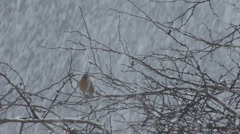Chaffinch in heavy snow. Stock Footage