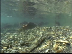 Salmon run, salmon in river mouth entrance to lake Stock Footage
