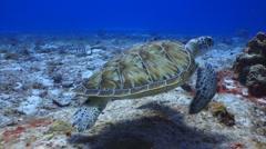 Turtle swim ocean marine life Stock Footage