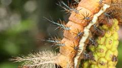 Larva of an Automeris moth (Saturniidae) Stock Footage
