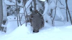 Hazel grouse Stock Footage