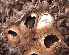 Tagua nuts, pure Stock Footage