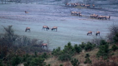 Elk herd Stock Footage