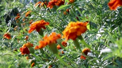 Rack focus from back to front over French marigold (Tagetes patula) Stock Footage