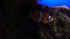 Nemo Fish Stock Footage