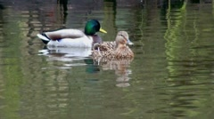 Male and Female Mallard Duck  Stock Footage
