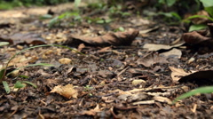 Tracking along a column of army ants on the rainforest flor Stock Footage