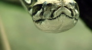 Stock Video Footage of Boa constrictor
