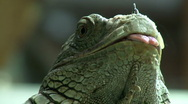 Stock Video Footage of Green Iguana