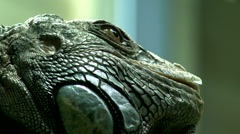 Green Iguana - stock footage