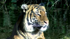 Young Tiger - stock footage