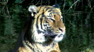 Young Tiger Stock Footage
