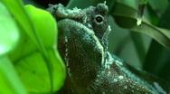 Dwarf chameleon Stock Footage