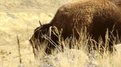 Herd of bison buffalo Stock Footage