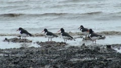 Oystercatcher Wading Birds Stock Footage