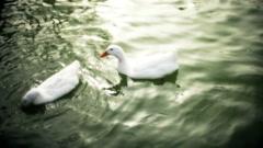 Ducks eating Stock Footage