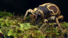 Amazonian weevil - stock footage