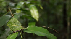 Leaf mimic katydid - stock footage