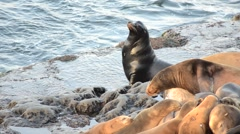 Vigilant sea lion watching Stock Footage