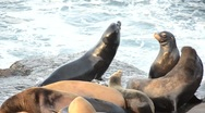 Stock Video Footage of group of sea lions pan right