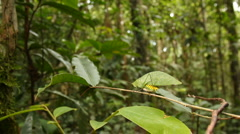 Stock Video Footage of Green katydid resembling a leaf