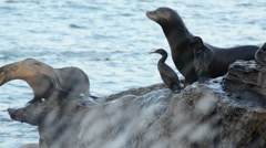 Sea lions dive into water from rocks Stock Footage