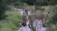 Lion Pride Rear View Stock Footage