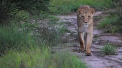 Lion pride on road Stock Footage