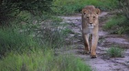 Stock Video Footage of Lion pride on road