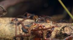 Army ants (Eciton hamatum) Stock Footage