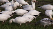 Stock Video Footage of snow geese feeding