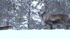 reindeer - stock footage