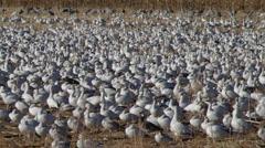 Huge Flock of Snow Geese Stock Footage