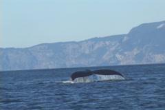 Humpback Whale Alaska Stock Footage