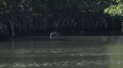 Racoon walking along the marsh mangroves Stock Footage