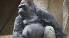 Gorilla silverback Stock Footage