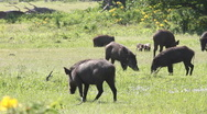 Stock Video Footage of wild boars
