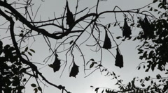 Flying fox Stock Footage