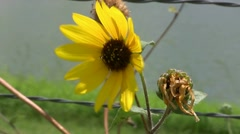 Sunflower On Barbed Wire Fence Stock Footage